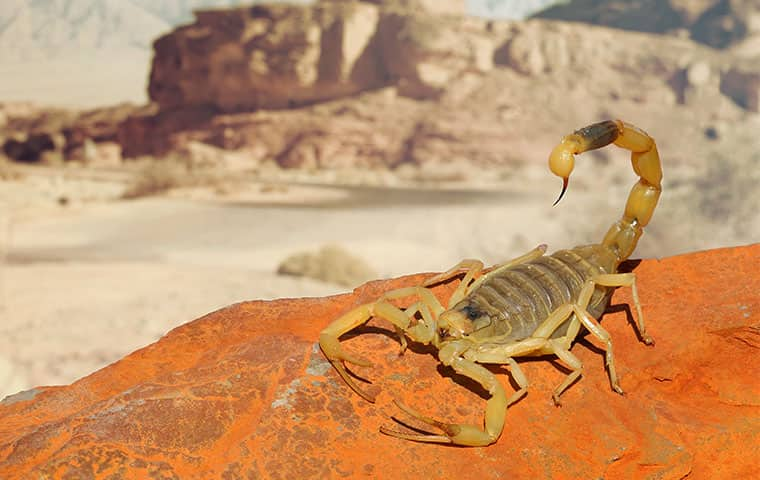 a yellow ground scorpion crawling on the ground outside in phoenix arizona