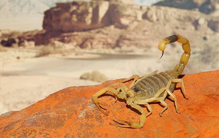 a yellow ground scorpion crawling on the ground outside in phoenix arizona