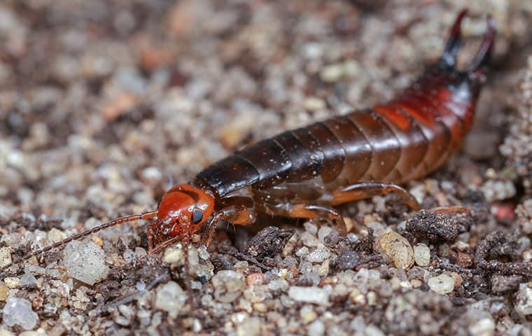 an earwig crawling on the ground outside in gilbert arizona