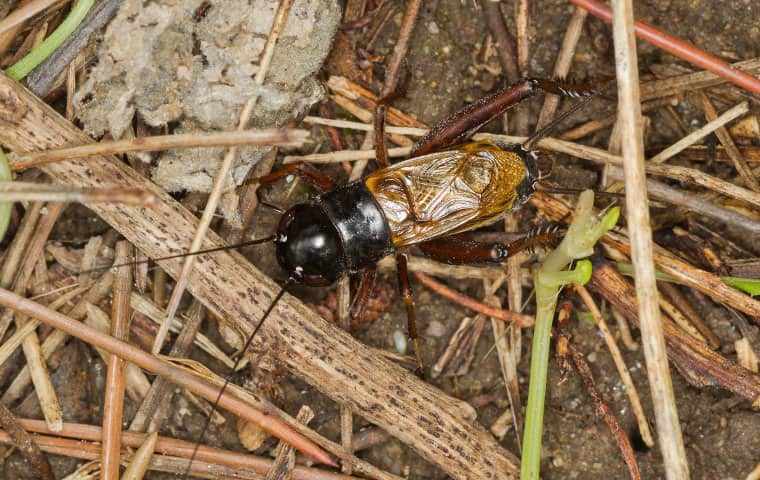 a field cricket crawling on the ground outside in san tan valley arizona