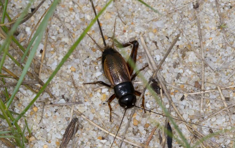 a field cricket crawling on the ground in san tan valley arizona