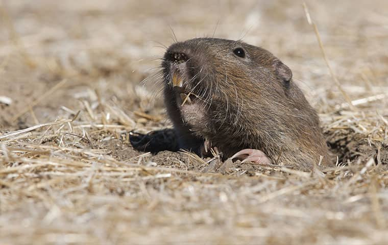 a pocket gopher emerging from his hole outside in chandler arizona