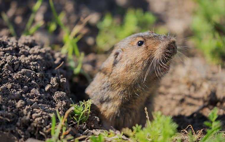 a pocket gopher outside in san tan valley arizona