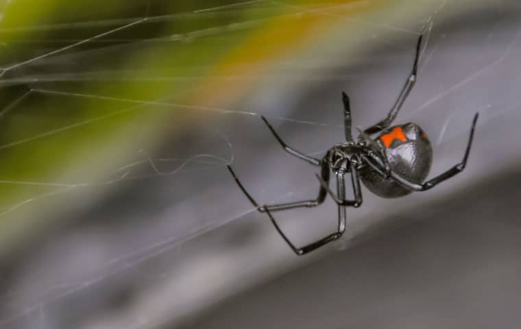 a black widow spider crawling on a web inside a mesa arizona home