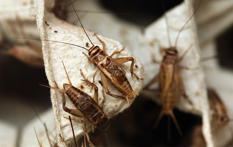 house crickets crawling on a plant outside a home in gilbert arizona