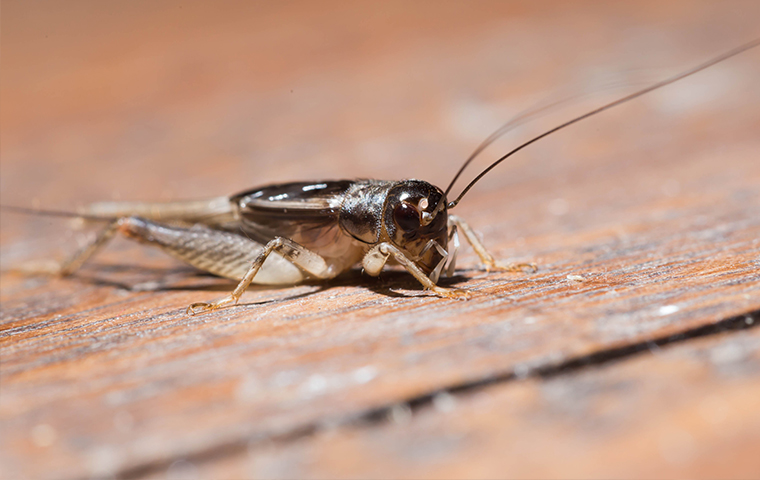 a house cricket on a porch in san tan valley arizona
