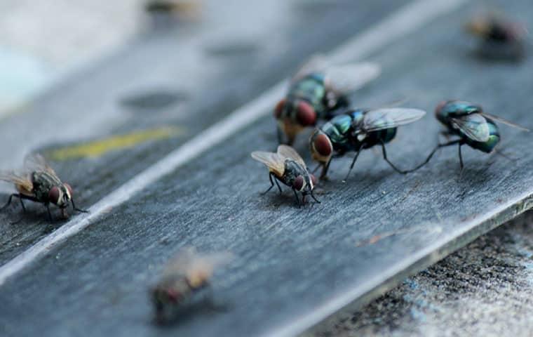 a swarm of house flies inside a mesa arizona home
