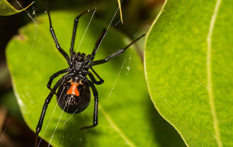 a black widow spider crawling on a leaf outside in queen creek arizona