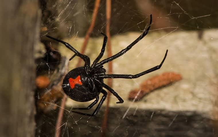 a black widow spider crawling on a web inside a meza arizona home