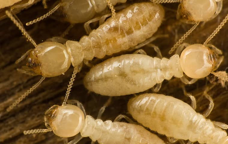 a termite infestation inside a home in phoenix arizona