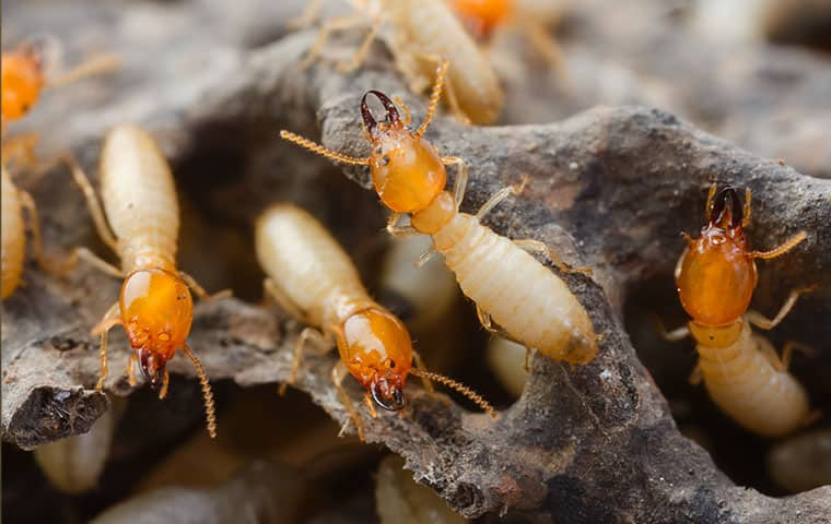 an infestation of termites eating wood in gilbert arizona