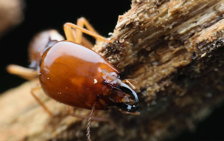 a termite crawling on damaged wood in chandler arizona