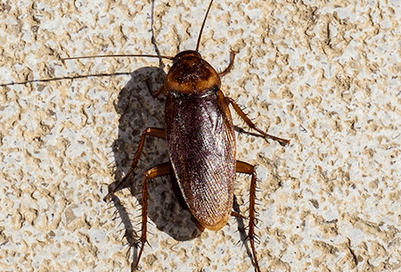 american cockroach climbing wall