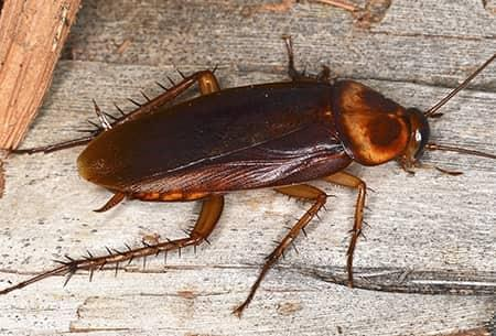 an american cockroach feasting on a wooden table top in a tulsa oklahoma kitchen