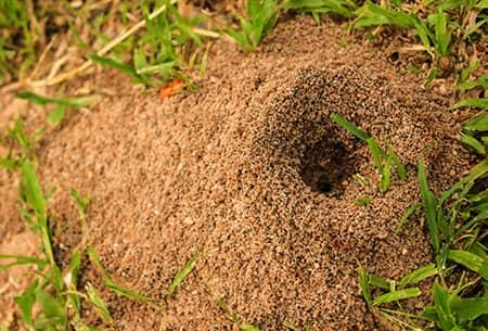 anthill up close in tulsa yard