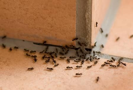 ants in tulsa oklahoma house