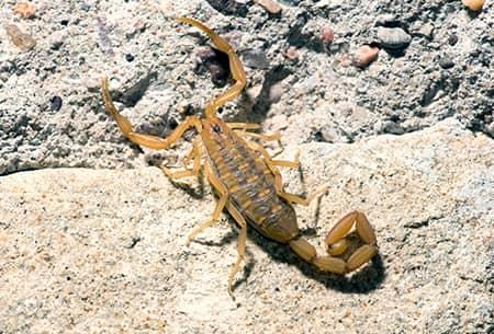 a golden brown tinted bark scorpion scurrying throughout a tulsa oklahoma yard