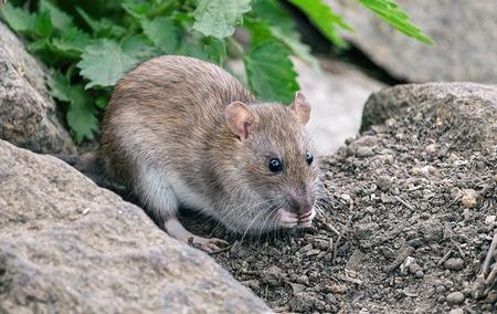a large rat sitting between rocks