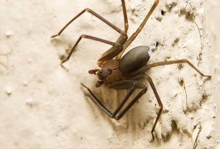 a fully grown long legged brown recluse spider crawling along the stone wall of a tulsa oklahoma home