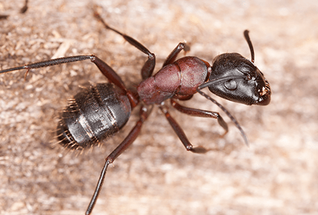 carpenter ant found in tulsa home