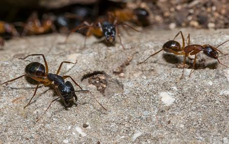 capenter ants crawling on teh ground
