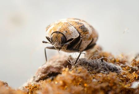 carpet beetle on rug