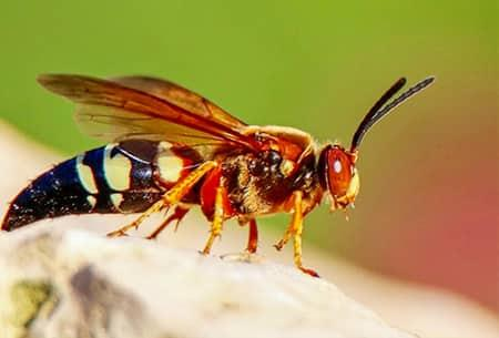 a read headed cicada killer flapping its wings feverishly in tulsa oklahoma home