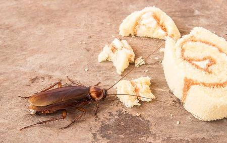 a cockroach eating food