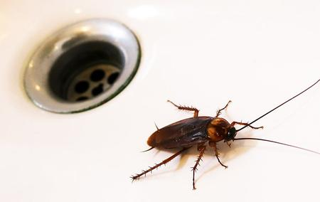 cockroach in kitchen sink