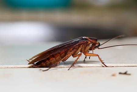 an american cockroach crawling along the kitchen table of a tulsa oklahoma property