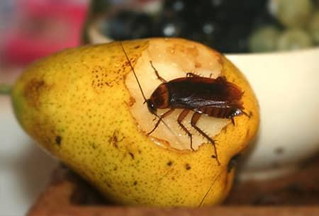a full grown adult cockroach infesting a ripe yellow pear in a tulsa kitchen