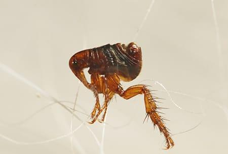 a tiny flea crawling along a strand of pet hair in a tulsa oklahoma home