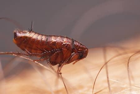fleas festering on the hairy skin of a tulsa oklahoma resident