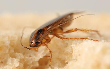 a german cockroach on a piece of bread