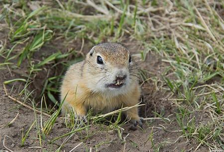 a gopher popping up through its tunneled whole in a tulsa oklahoma yard