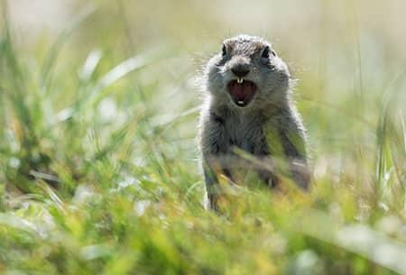 a gray goffer screaming as he is perched up on his hind legs in the tall grass of a Tulsa property