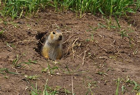 gopher looking out of hole in the ground
