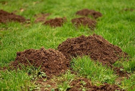 tulsa lawn damaged by moles