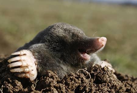 mole on a tulsa, ok lawn
