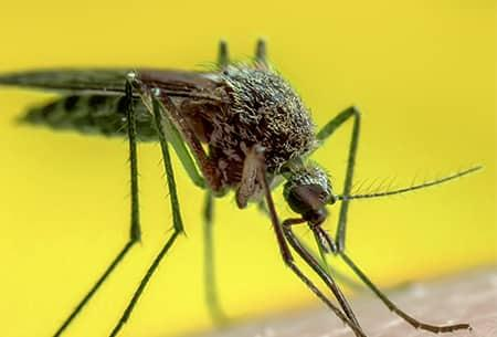 a croutched mosquito biting a tulsa oklahoma resident on its bare skin