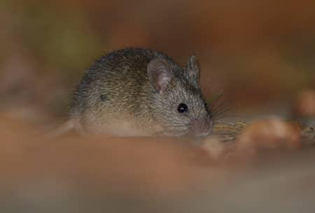 rodent in tulsa home