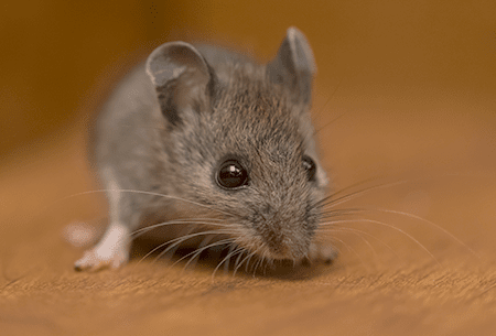 mouse sneaking through home