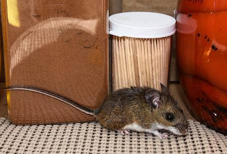 mouse found in tulsa home
