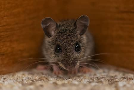 mouse in tulsa ok home