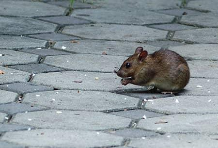 mouse on concrete patio