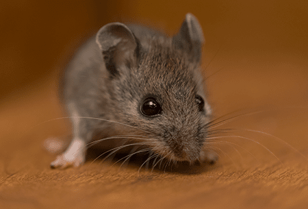 mouse in tulsa home
