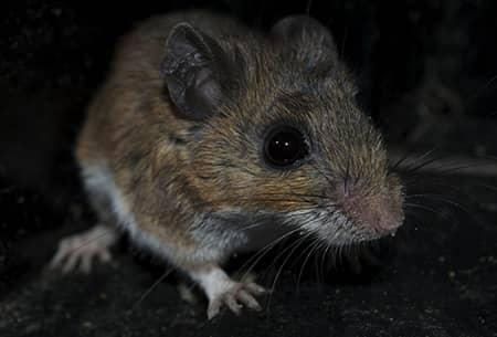 rodent up close in tulsa home