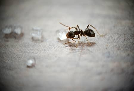 a small blach ordorouse ant crawling along a wet kitchen floor in a tulsa home