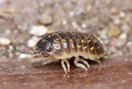A singe pill bug crawling out from under a chinck of mulch on a tulsa oklahoma garden on a sunny fall day