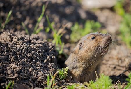 a small pocket gopher poking its head theough a tunnel recently dug by the gopher in a tulsa yard